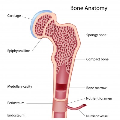 La médula ósea y el control de la inmunidad